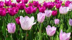 Beautiful springtime. Field with tulips flowers footage. Beautiful springtime.