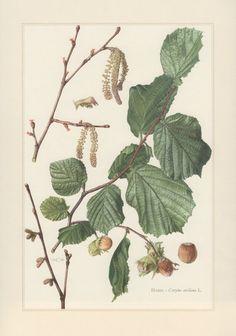 1960 Vintage Botanical Print Corylus avellana by Craftissimo