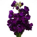 Spray Stock Purple Flower | FiftyFlowers.com