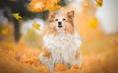 Download wallpapers Sheltie, pets, shetland sheepdog, dogs, running dog, Shetland Sheepdog Dog