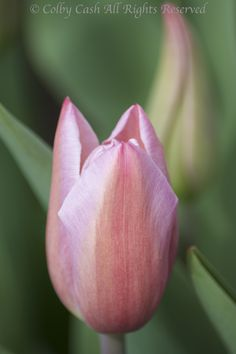 Shades of Pink. Mistress Grey Tulip