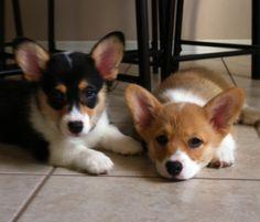 #corgi #dogs