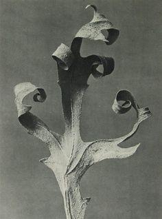 """Vintage gravure, plate 41 from """"Urformen der Kunst"""" [""""Art Forms in Nature""""] by Karl Blossfeldt Karl Blossfeldt, Plant Illustration, Botanical Illustration, Bio Design, Natural Form Art, Dark Photography, Flower Photography, Flowers Nature, Large Art"""