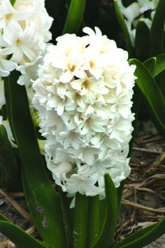 orientalis Fairy White - the whitest we've seen to date and is exquisite; will be perfect with any color scheme.