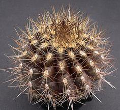 Neoporteria atrispinosa KK42 (Eriosyce villosa)