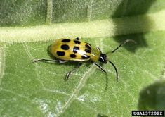 Spotted cucumber beetle adult (Diabrotica undecimpunctata howardi).