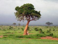 Lioness at Tsavo National Park