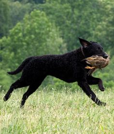 Curly Coated Retriever ~ Classic Look Curly Coated Retriever, Kinds Of Dogs, Retriever Dog, Hunting Dogs, My Best Friend, Dog Breeds, Cute Dogs, Dogs And Puppies, Meet
