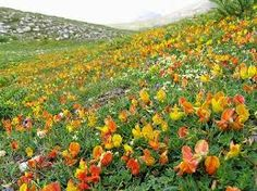 Image result for lotus ground cover plant