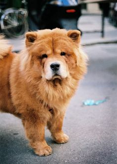 I miss my chow chow Jenny:( she passed away last summer after 11 years (57 dog years)