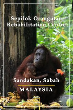 A photo story on 3 top wildlife centres in Sabah, Borneo: Sepilok Orangutan Rehabilitation Centre, Bornean Sun Bear Conservation Centre and Labuk Bay Proboscis Monkey Sanctuary. With plenty of photos & tips. #ICYDKSandakan
