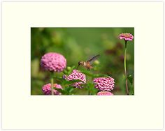 """""""Hummingbird and Zinnias"""" Matted Prints by pencreations 