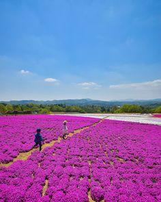 Kamu no Sato Rokutan Moss Phlox, Beautiful Places In Japan, Hiroshima, Belleza Natural, Topiary, Nature Pictures, Four Seasons, Japan Travel, Palms