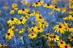 Kentucky Wildflower
