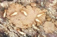 Get Rid Of Toxin There are several techniques that can use for getting rid of termites. Below are 7 different methods on how to kill termites naturally. Bug Control, Pest Control, Drywood Termites, Bugs, Termite Control, Termite Damage, Citrus Oil, Garden Guide, Insects