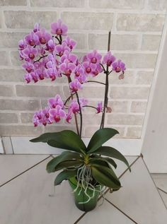 Egy tripszes orchidea láttán sokan azonnal kétségbe esnek és menthetetlennek hiszik deédelgetett kedvencüket. A tripsz egy alattomos, nem kívántos kártevő, de sikerrel felvehetjük vele a harcot és újra a régi pompájában láthatjuk az orchideát.... The post Így hozhatod helyre a tripszes lepkeorchideát – olvasói tanácsok appeared first on Balkonada. Aloe Vera, Exterior, Design, Vases, Artificial Orchids, Plants, Flowers, Outdoor Rooms
