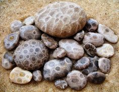 Petoskey stone is a rock and a fossil, often pebble-shaped, that is composed of a fossilized coral. The stones were formed as a result of glaciation. Petoskey was the state mineral of Michigan during the Lago Michigan, Petoskey Michigan, Northern Michigan, Michigan Usa, Michigan Travel, Leland Michigan, Michigan Facts, Michigan Vacations, Central Michigan