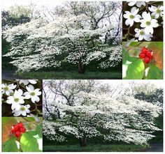White Flowering Dogwood Flowering Dogwood by ALLooABOUTooSEEDS