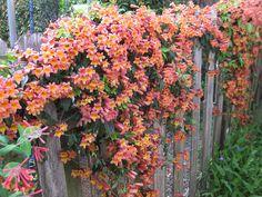 Bignonia capreolata on fence