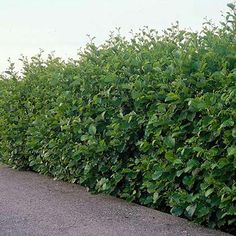 10 Fast Growing Hedges For Privacy - Gardeners' Guide - 10 Fast Growing Hedges . 10 Fast Growing H Privacy Bushes Fast Growing, Fast Growing Hedge Plants, Fast Growing Evergreens, Fast Growing Plants, Evergreen Hedging Plants, Tall Shrubs, Bushes And Shrubs, Tall Plants, Fence Plants