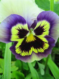 Purple & Yellow Pansy