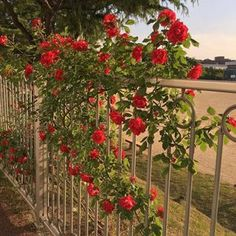 you like roses or me🤔 – anodal-leather Nature Aesthetic, Flower Aesthetic, Red Aesthetic, Aesthetic Photo, Aesthetic Pictures, Plants Are Friends, Land Scape, Mother Nature, Aesthetic Wallpapers