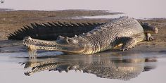 Gharial:  The gharial can measure up to 20 feet long, making it one of the largest species of crocodile.