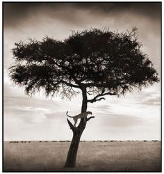 Bid now on Cheetah in Tree, Maasai Mara by Nick Brandt. View a wide Variety of artworks by Nick Brandt, now available for sale on artnet Auctions. Nick Brandt, Wildlife Photography, Animal Photography, Landscape Photography, Focus Photography, Viewing Wildlife, Out Of Africa, East Africa, African Animals