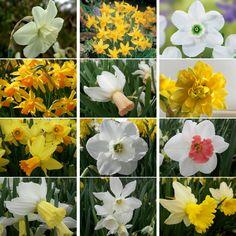 Narcissus Bulbs Perennial Daffodil Spring Flowering Bulbs Garden Plants Garden Bulbs, Garden Plants, Narcissus Bulbs, Spring Flowering Bulbs, Daffodils, Perennials, Daffodil, Perennial