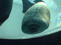 a seal hitting the glass wall of the pool