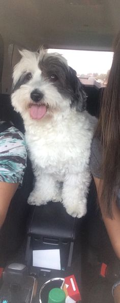 Such a sweet natured breed. Loves riding in the car, swimming, walks, and cuddling.