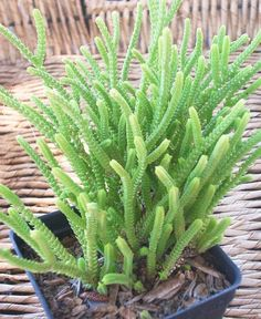 crassula muscosa. This is such a great plant in an arrangement. Easy to prune and keep tidy!