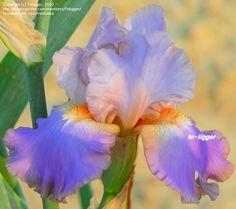 TB Iris germanica 'Mountain Echo' (Schreiner, 1997)