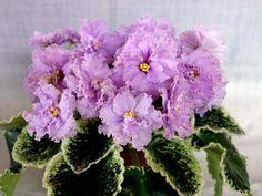 ЛЕ-Сиреневый дождь, пример цветения из Сети, источник под фото. Св.лист 21.05