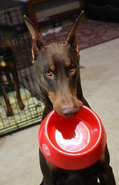 Food, please #doberman #dog