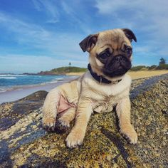 süßer Mopswelpe am Strand <3 | instagram.com | #Mops #pug