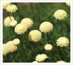 Santolina rosmarinifolia 'Primrose Gem' RHS Award of Garden Merit Winner   Lambley Nursery