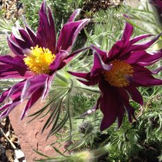 Pulsatilla is such an amazing Spring perennial.  I'm going to plant it with species tulips, veronicas, and violets - all surrounding my honey berry bushes so the bees have an all you can eat buffet.  That's right!!  Dandelions will be somewhere nearby as well.