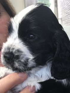 """Learn additional details on """"spaniel puppies"""". Look at our site. Chiots Springer Spaniel, Springer Spaniel Welpen, Perro Cocker Spaniel, Black Cocker Spaniel, Springer Spaniel Puppies, English Springer Spaniel, Spaniel Dog, English Cocker, Spaniels"""