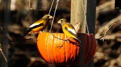 Pumpkin Bird Feeder Makes a Happy Harvest For Birds | Audubon