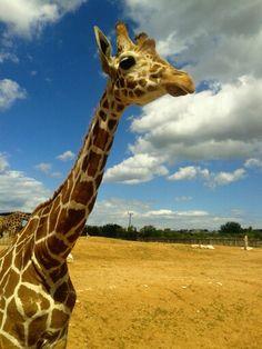 Giraffa!