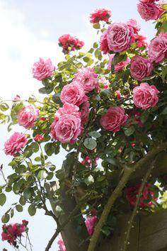 Klimrozen. i'm assuming that's dutch for climbing roses. i like the way it sounds. :)