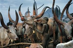 Boy and cattle - Dinka people