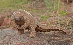 This is the African Pangolin (still alive today). Its front claws are too big to walk on and are used primarily for digging for insects. It looks like a dinosaur!!