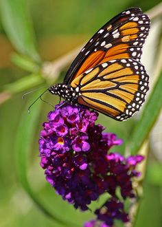 Monarch Butterfly - we released these at our wedding so much love