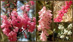 - Australia by Red Nomad OZ Spring Flowers, Wild Flowers, African Plants, Australian Wildflowers, Welcome Spring, New Growth, Planting Flowers, Flowering Plants, Amazing Flowers