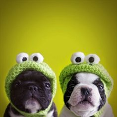 French Bulldog and Boston Terrier wearing frog hats - too cute!