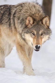 DIRE WOLF German Shepherd Tattoo, German Shepherd Dogs, Wolf Spirit, Spirit Animal, Jungle Animals, Animals And Pets, Wild Animals, Wolf Poses, Wolf Stuff