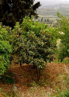 Mousmouliá (loquat tree) on a hill near the ancient ruins of Phaistos, Crete, Greece