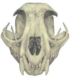 emmaroulette:  Bobcat skull (Lynx rufus) February 2014